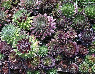 Hens & Chicks 200 Seeds   Semperviven   Perennial Garden, Lawn, Supply, Maintenance  Lawn And Garden Spreaders  Patio, Lawn & Garden
