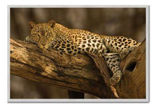 Leopard In Tree Poster Silver Framed & Satin Matt Laminated   96.5 x 66 cms (Approx 38 x 26 inches)   Prints