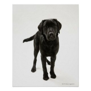 Black labrador retriever posters
